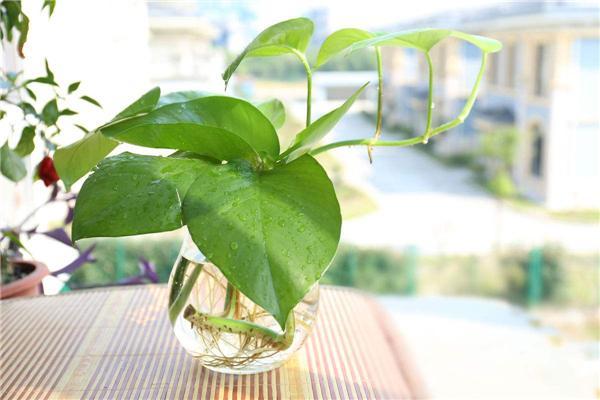 植物除甲醛.jpg